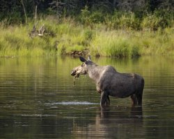 moose-cow-in-water