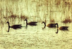 my-canada-geese-004